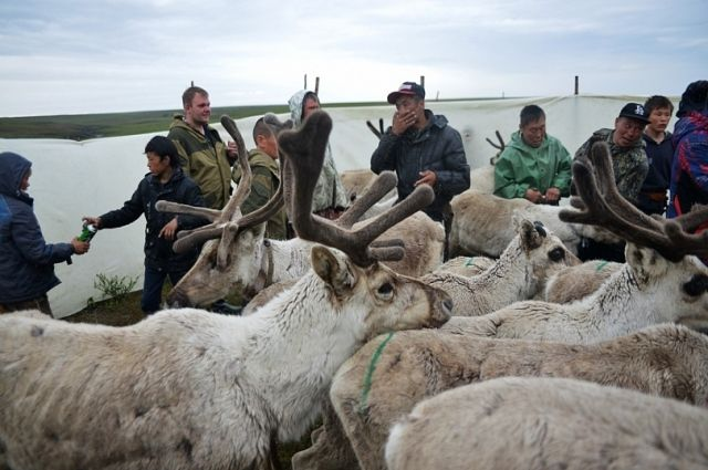 В Тазовском районе привили более трети оленей