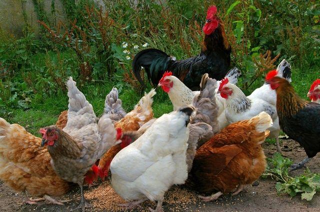 В шести районах Татарстана выявили кур с вирусом птичьего гриппа.