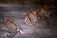 Новорожденные тигрята.