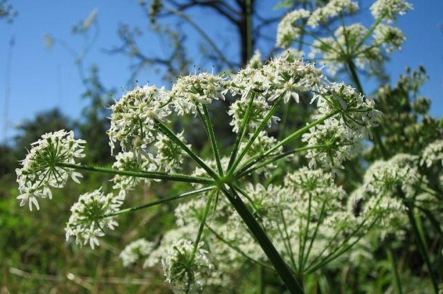Дачники каждое лето самоотверженно борются с растением