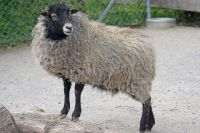 Тюменец украл для друга барана на шашлык