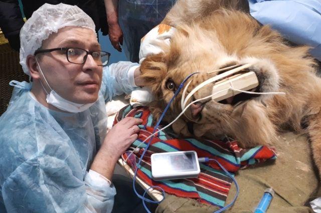 Когда нужно определить, что болит у льва, не подходят методы диагностики, которые применяют у обычных кошек.