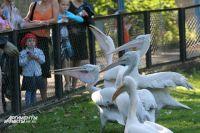 Птиц из калининградского зоопарка спасают от жары мороженым.