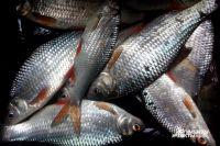 СК проверит сообщения о массовом море рыбы в Костромской области.