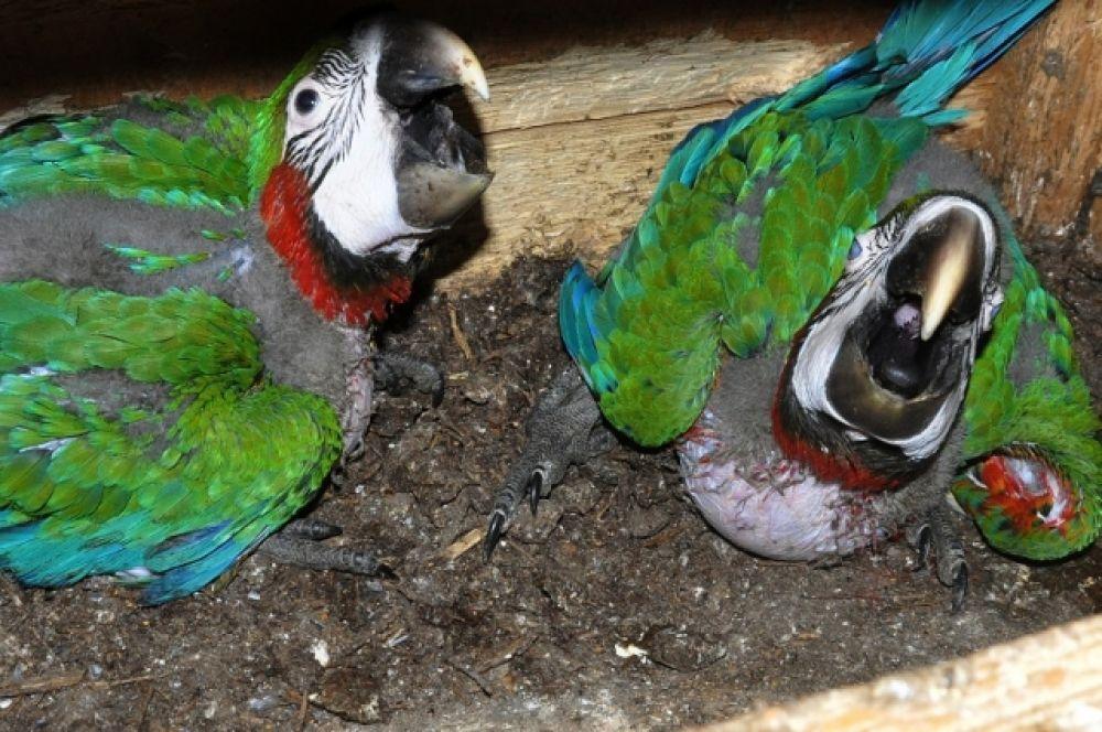 В зоопарке Ростова-на-Дону на у семьи попугаев ара появились птенцы.