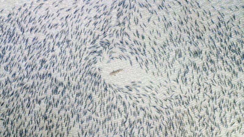 Черноперая акула, номинация «Дикая жизнь».