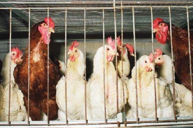 Для недопущения распространения гриппа птиц всю восприимчивую птицу подвергли эвтаназии.