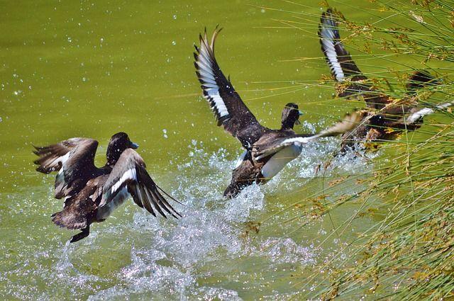 Уток разогнала бойкая птица.