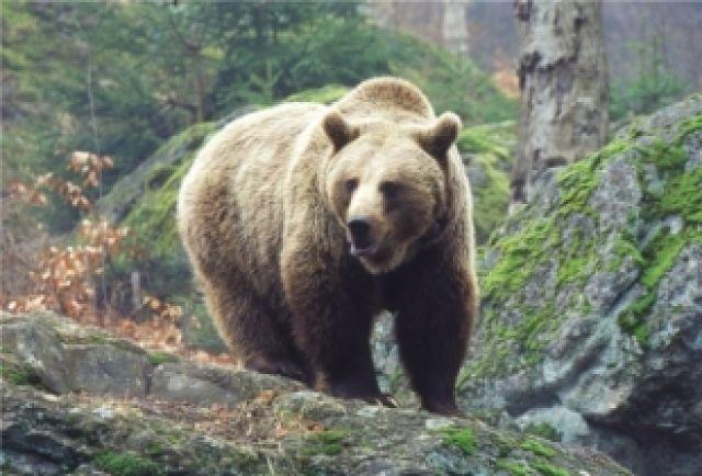 В Красноярском крае в этом году просто нашествие медведей