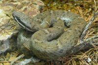 Из ядовитых змей в Пермском крае водятся только гадюки.