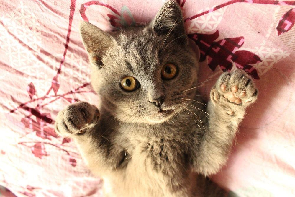 В 1984 году кот по кличке Гамлет сбежал из клетки во время полёта из Торонто (Канада). Питомец так хорошо спрятался в самолёте, что нашли его только через семь недель. К этому моменту вместе с воздушным судном кот-путешественник «налетал» более 965 600 км.
