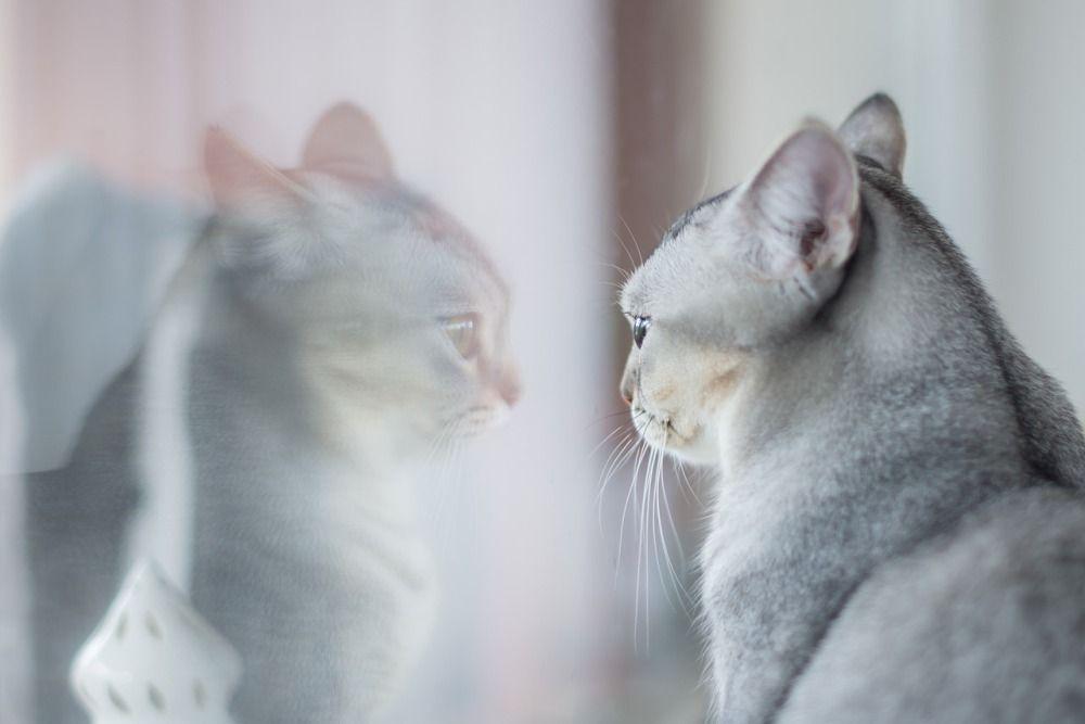 Взрослые кошки, как правило, не проявляют особого интереса к своему отражению в зеркале, поскольку эта «другая кошка» не имеет запаха, в то время как именно через обоняние кошки получают основную информацию об окружающем мире.