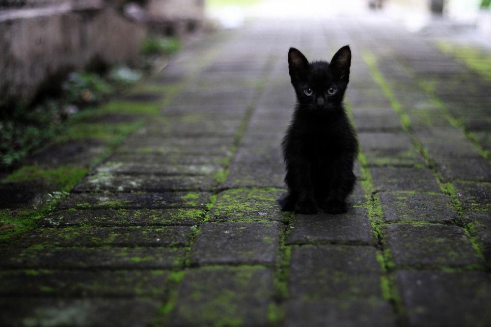 Поверье о том, что чёрные кошки приносят несчастье, берёт начало из Средневековья, когда этих животных объявили пособниками ведьм. Однако в некоторых странах, например в Шотландии и Австралии, люди, напротив, верят, что кошки с чёрной шерстью привлекают в дом удачу и достаток.