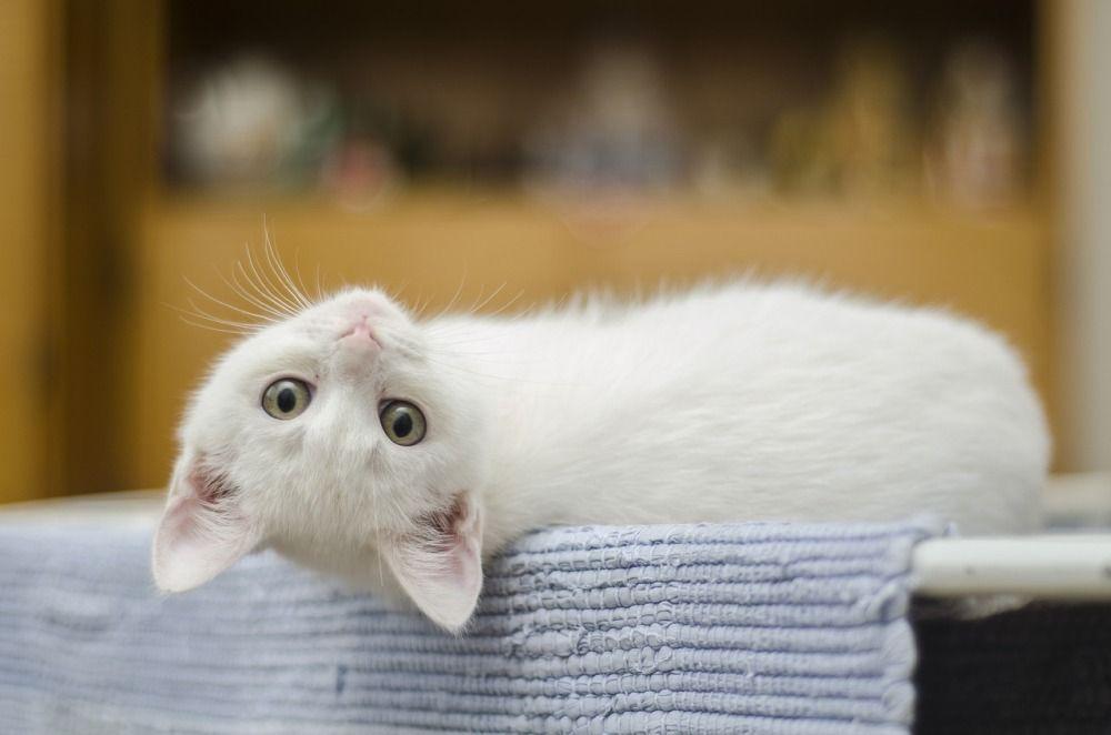 У котят после рождения появляются молочные зубы, которые на 4-6 неделе жизни заменяются на постоянные.