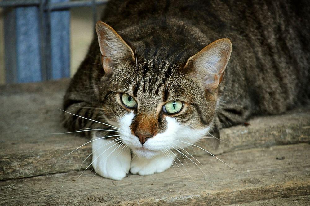 Средняя продолжительность жизни домашних кошек – 12015 лет. Рекордсменкой называют кошку по кличке Крим Пафф, которая прожила 38 лет.