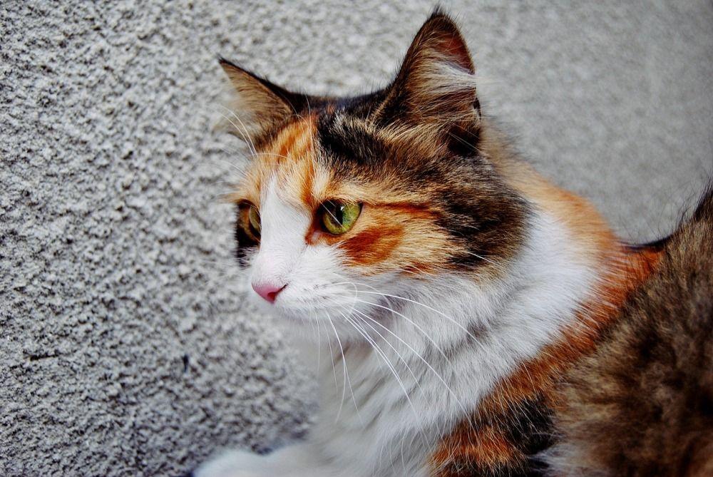 Так называемый черепаховый окрас в подавляющем большинстве случаев имеют кошки (самки), у котов он не проявляется крайне редко из-за особенностей взаимодействия генов, отвечающих за цвет шерсти.