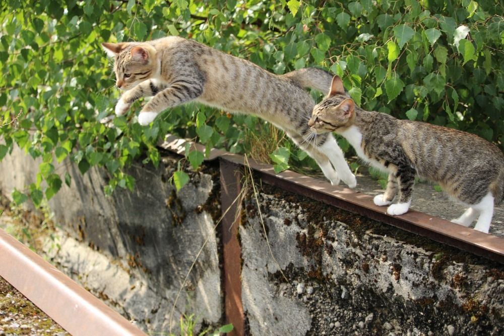 Кошка может подпрыгнуть на высоту в пять-шесть раз больше длины своего тела, то есть примерно на два с половиной - три метра.