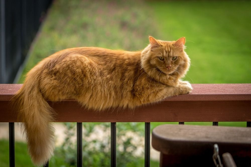 Звание самой крупной породы домашних кошек делят между собой мейн-куны и саванны. Первым принадлежит рекорд длины – мейн-кун по кличке Стьюи от кончика носа до кончика хвоста был 123,2 сантиметра. А звание самого высокого принадлежит коту породы саванна по кличке Трабл, его рост в холке составлял 48,2 см.