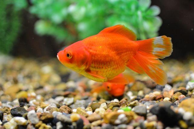 Золотая рыбка - одна из жительниц выставки подводного мира.