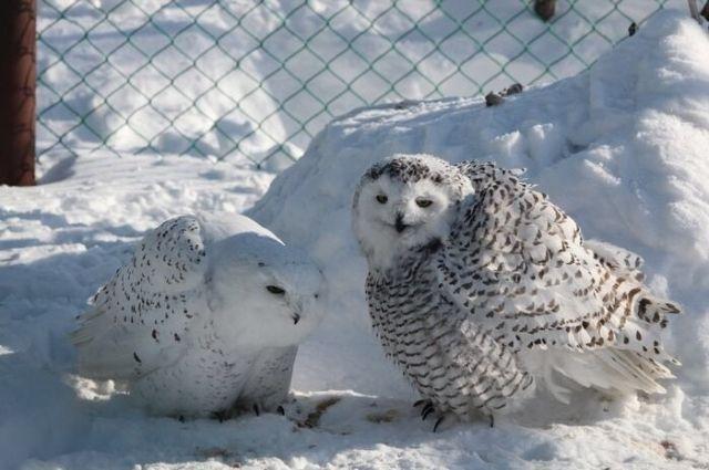 Новоуренгойцам предлагают взять опеку над животными зоопарка
