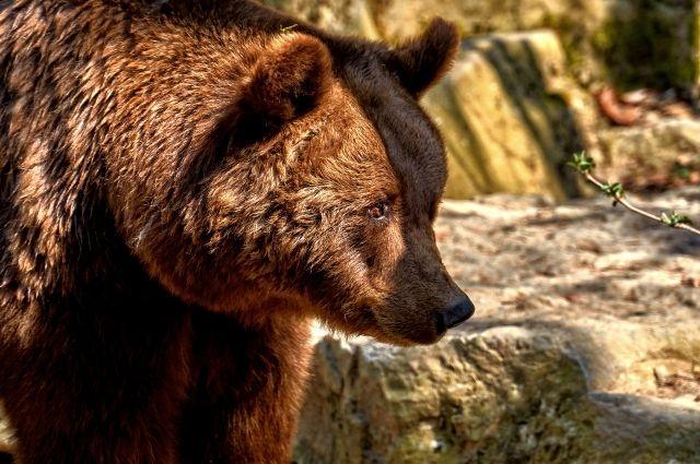 В Тюменской области стартует сезон охоты на медведей