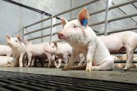 Крупнейший животноводческий объект примет на доращивание и откорм взрослое поголовье со свинокомплекса «Агроэлита».
