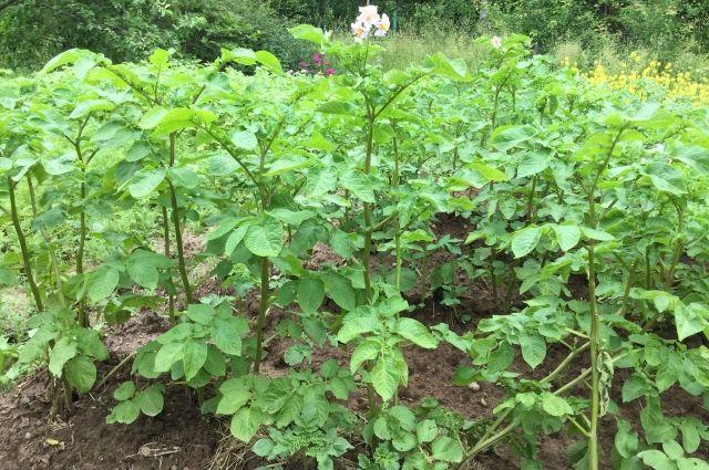 Засуха в Украине: из-за жары часть урожая картофеля просто спеклась в земле