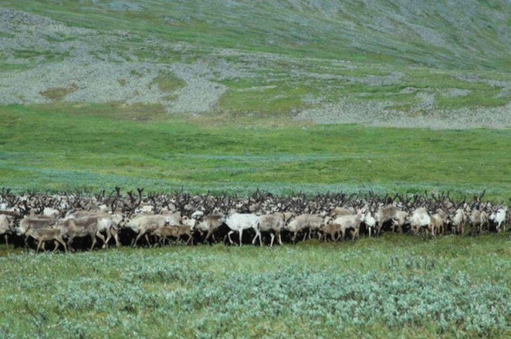 Здесь, у подножья гор, оленеводы пасут многотысячные стада оленей.
