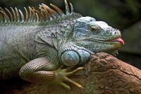 В одном из тюменских зоопарков нашли нелегалов: агаму и игуану