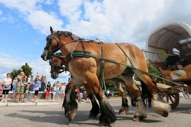 По Калининградом встретили международный поход на лошадях-тяжеловозах.