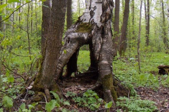 Дерево растёт в квартале 49 на территории Мотовилихинского лесничества