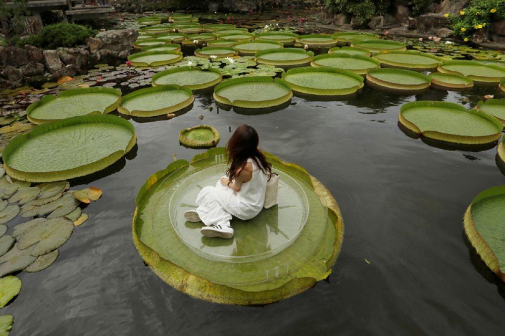 Гигантские водяные лилии в Тайбэе, Тайвань.