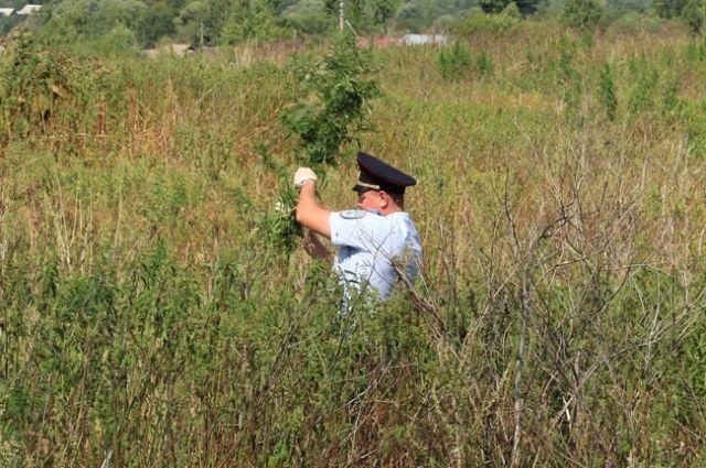 На территории Чайковского района прошёл рейд по выявлению и ликвидации незаконных посевов наркосодержащих растений.