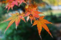 Осенью листья клёна пестреют яркими красками.