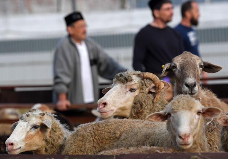 Жертвенные бараны в комплексе «Курбан Байрам» в праздник Курбан-Байрам в Казани.