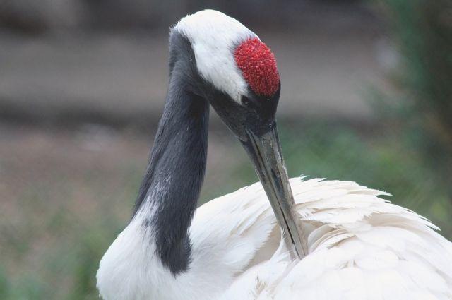 Птица по кличке Ай появилась на свет в прошлом году в питомнике редких видов журавлей.