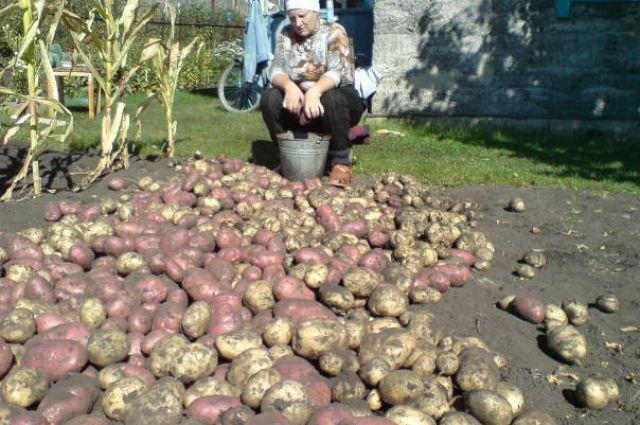 Как бы нынешний урожай не оказался для некоторых альметьевских дачников последним.