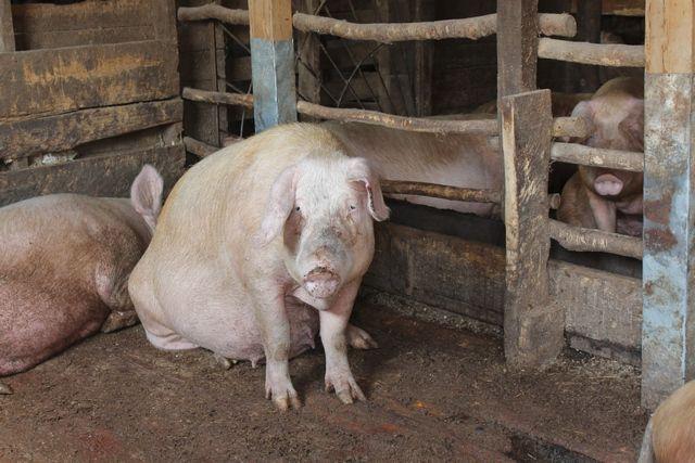И не ведает свинья, что отходы от неё людям жизнь травят.