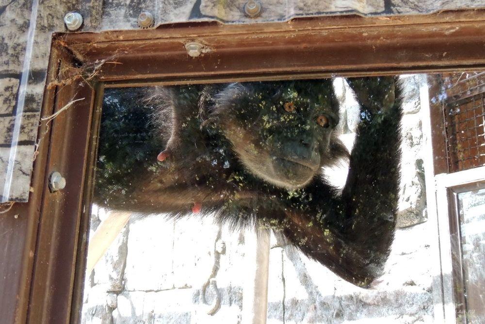 Этой обезьянке нравится наблюдать за посетителями сафари-парка.