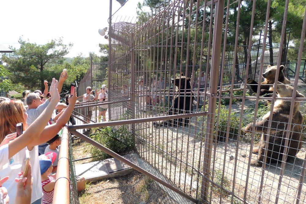 Посетители привлекают внимание бурых медведей, которые готовы на все ради лакомства.