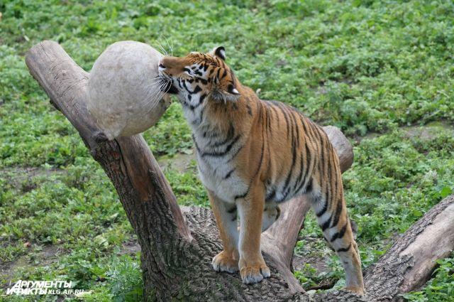 В зоопарке Калининграда учились ловить сбежавшего тигра.