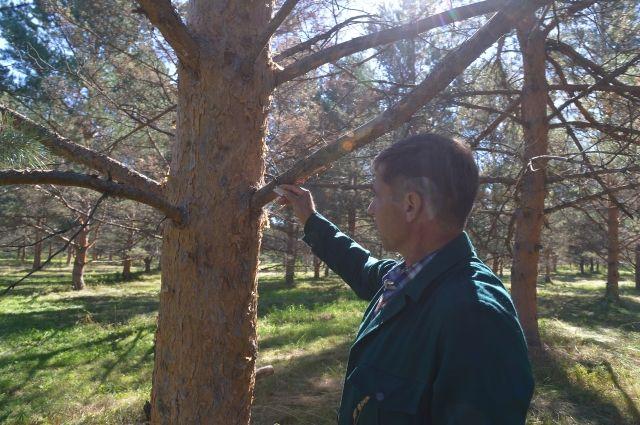 Для восстановления леса приходится выращивать деревья с самыми жизнестойкими семенами