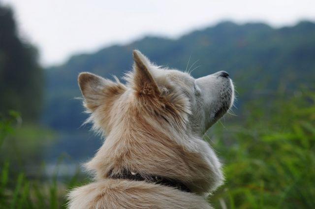 Тазовчанка хотела купить щенка, но стала жертвой мошенников