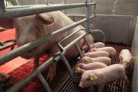 На модернизированном Первоманском свинокомплексе будет доращиваться взрослое поголовье из «Агроэлита».