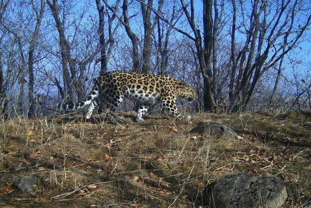 ВПриморье обнаружили четырех новых леопардов