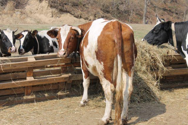 Чтобы вырастить целое молочное стадо, фермеру надо много потрудиться.