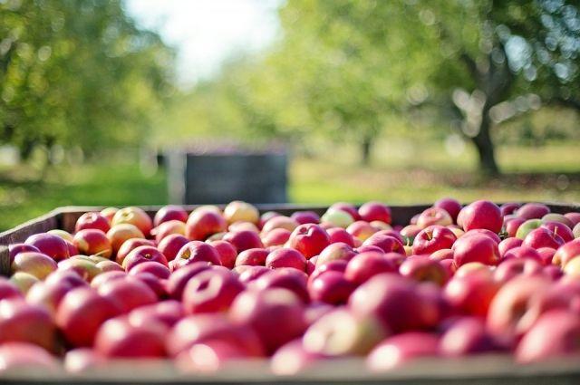 Яблоками приятно утолять жажду, так как в среднем плоды содержат 87 % чистой воды.