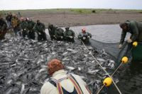 В этом году на Камчатке небывалый «урожай» лосося.