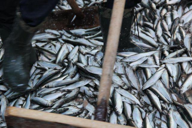 Тонны рыбы оказались на дороге после ДТП на трассе Калининград-Черняховск.