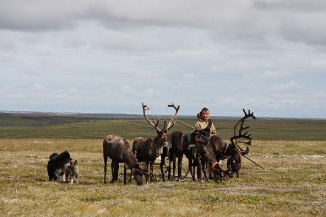 Ямальцы участвуют в разработке образовательного модуля по оленеводству